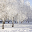 Winter birch trees alley — Stock Photo