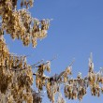 Frozen maple tree branch — Stock Photo #1818622