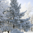Stock Photo: Winter frozen spruce trees