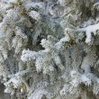 Hoarfrost on needles — Stock Photo