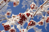 Frozen ashberry — Stock Photo