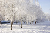 Winter birch trees alley — Foto Stock