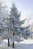 Winter frozen spruce trees — Stock Photo