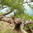 Stock Photo: Bizarre tree on cliff