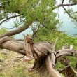 Bizarre tree on cliff — Foto Stock #1353736