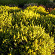 Stock Photo: Yellow heather
