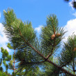 Stock Photo: Pine branch