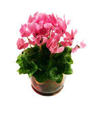 Pink cyclamen on a white background — Stock Photo
