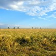 Field of ripe wheat and blue sky - Stock Photo