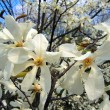 Stock Photo: Blooming magnolia