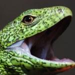 Green lizard — Stock Photo
