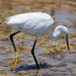 White egret — Stock Photo #1293240