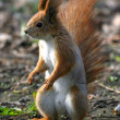 Red squirrel — Stock Photo #1343116