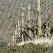 Vineyard in early spring - Stock Photo