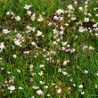 Stock Photo: Small flowers in the grass