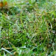 Green grass with dew — Stock Photo #1344863