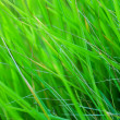 Green grass with dew — Stock Photo