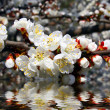 Sakura cherry flowers branch — Stock Photo