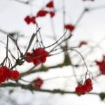 Close-up of red viburnum berries — Stock Photo #1345079
