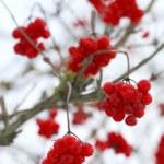 Close-up of red viburnum berries — Stock Photo #1345096