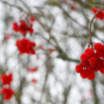 Close-up of red viburnum berries — Stock Photo #1345105