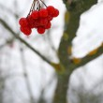 Close-up of red viburnum berries — Stock Photo #1345117