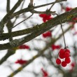 Close-up of red viburnum berries - Stock Photo