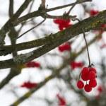 Close-up of red viburnum berries — Stock Photo #1345130