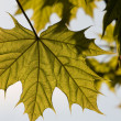 Closeup of spring maple leaf on a tree — Stock Photo