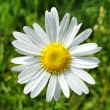 Beautiful camomile flower — Stock Photo