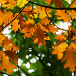 Autumn oak leaves background — Stock Photo
