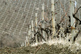 Vineyard in early spring — Stock Photo