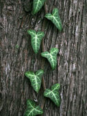 Green ivy vine — Stock Photo