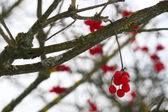 Close-up of red viburnum berries — Stock Photo