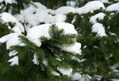 Green fir-tree branches — Stock Photo