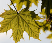 Closeup of spring maple leaf on a tree — Stockfoto