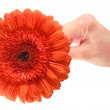Red gerbera in woman's hand — Stock Photo