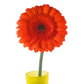 Red gerbera in yellow vase closeup — Stock Photo