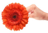 Red gerbera in woman's hand — Stok fotoğraf