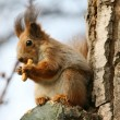 Brown squirrel eating cookie on a tree - Stock Photo