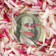 100 banknote under pink petals - Stock Photo