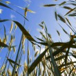 Wheat ears on the blue sky background — Stock Photo