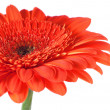 Red gerbera isolated on white — Stock Photo