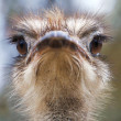 ostrich head closeup — Stock Photo