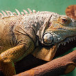 Iguana closeup portrait - Stock Photo