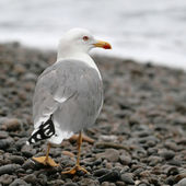 Seagull on the stones at the seaside — Stock Photo
