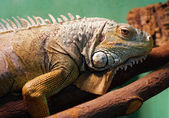 Iguana closeup portrait — Stock Photo