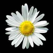 Camomile flower on black background — Stock Photo
