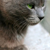 Gray cat closeup portrait — Stock Photo