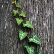 Stock Photo: Green ivy vine crawling on the tree